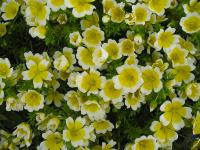 The Poached Egg Flower (Limnanthes douglasii)