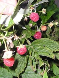 Beginners Guide to Pruning Raspberries