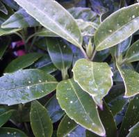 Spotted Laurels and How to Prune Them