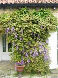 How and When to Prune Wisteria