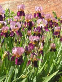 Dividing Irises to Improve Flowering
