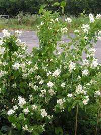 Genuine Versatility of the Mock Orange