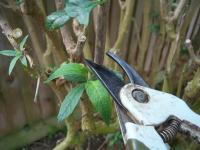 How to Prune Buddleja