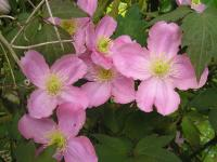 Pink Clematis Flowers