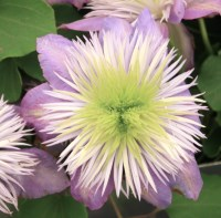 Clematis 'Crystal Fountain' - Clematis  'Crystal Fountain'