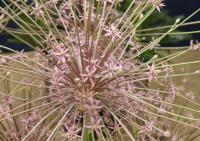 Ornamental Onion - Allium schubertii