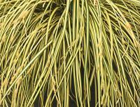 Japanese Sedge - Carex oshimensis  'Evergold'