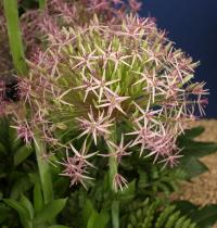 Star of Persia - Allium cristophii