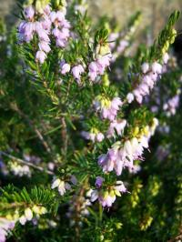 Heaths and Heathers - Erica, Calluna or Daboeica