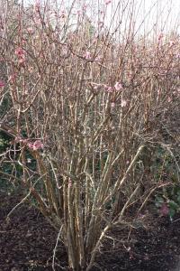 Plant image for Viburnum - Viburnum x bodnantense  'Charles Lamont'