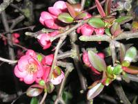 Japanese Quince - Chaenomeles x superba 'Pink Lady'
