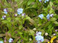 Forget-me-not - Myosotis alpestris