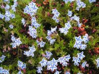 Lithodora diffusa 'Star' - Lithodora diffusa 'Star'