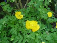 Welsh Poppy - Meconopsis cambrica