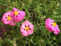 Rock Rose - Cistus x purpureus
