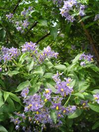 Chilean Potato Tree - Solanum crispum 'Glasnevin'