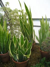 Mother-in-law's Tongue - Sansevieria trifasciata 'Laurentii'