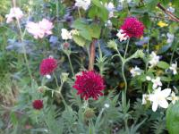 Macedonian scabious - Knautia macedonica