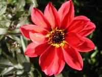 Dahlia 'Bishop of Llandaff''