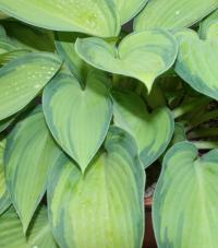 Plantain Lily - Hosta   'June'